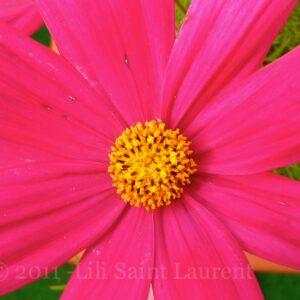 Flowers © 2011 Lili Saint Laurent